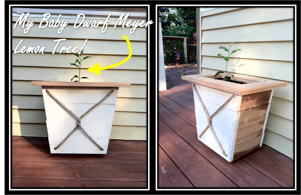 Diy Planter For My Baby Dwarf Lemon Tree Pieces Of Me